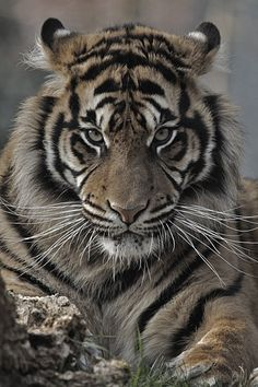 i can lick 30 tigers todaytures
