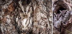 Consegue ver a coruja? | Veja 16 imagens de corujas extremamente bem escondidas | Tudo Interessante | Curiosidades, Imagens e Vídeos interessantes