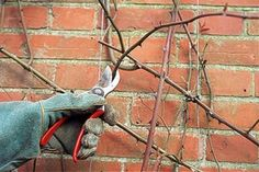 12 Incredible Tips for Climbing Roses Climbing roses will bloom on new stems that grow on old wood. After two or three years, It is important to prune your roses so that more will grow. Climbers should be pruned in late winter or early spring so that new vertical flowering stems will produce the maximum amount of flowers they can.