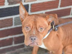 Brooklyn Center   TIFFANY - A1023000  FEMALE, BROWN / WHITE, PIT BULL / BOXER, 3 yrs STRAY - STRAY WAIT, NO HOLD Reason STRAY  Intake condition UNSPECIFIE Intake Date 12/12/2014, From NY 11420, DueOut Date 12/15/2014 https://www.facebook.com/photo.php?fbid=923665590979654%2F
