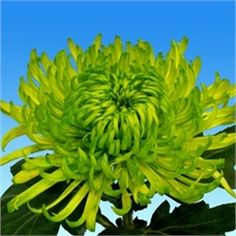 Chrysanthemum Blooms Shamrock are a green, disbudded, single headed cut flower variety. 70cm tall & wholesaled in 10 stem wraps.