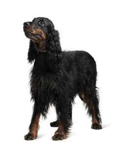 Originally deployed in Scotland to retrieve hunted birds that had fallen to the ground , the Gordon Setter's strong hunter's instinct,  sk...