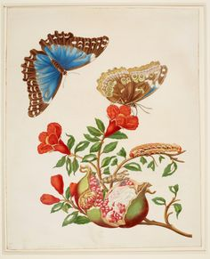 Maria Sibylla Merian (1647-1717)  Pomegranate and Menelaus Blue Morpho Butterfly  1702-03
