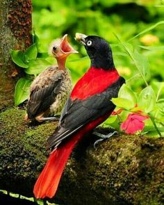Red Oriole