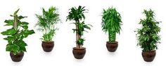 """Placing right plants at right locations brings good luck, says Feng Shui Practiced in China for over 3,000 years, Feng Shui (pronounced """"fung shway"""") is the ancient Chinese study of the environment and its effect on human beings. [image] 40% off top 5 pack   Top 5 Feng Shui Plants   Buy pots   Buy pebbles   Offer Feng Shui is based on the concept that a harmonious environment can result in greater success, happiness, and satisfaction in one's life. Best feng shui ad..."""