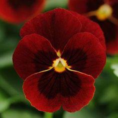 Sorbet Red Blotch Viola