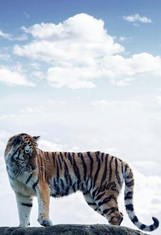 Amur Tiger Series (by Colin Langford)Edited by. by tigersareforever Beautiful Cats, Animals Beautiful, Big Cat Family, Animals And Pets, Cute Animals, Gato Grande, Tiger Art, Majestic Animals, Mundo Animal