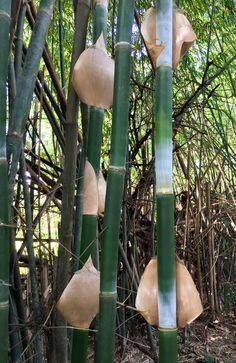 Tacuara del jardín botánico de Asunción