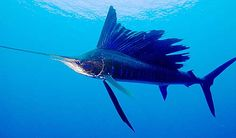 How fast can a sailfish swim? Sailfish is an extremely surely understood type of fish (you've likely known about them, and possibly seen one mounted) in light of their prevalence among game anglers.
