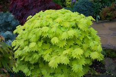 New leaves Acer shirasawanum 'Aureum' - Golden leaf Full Moon Japanese Maple in spring