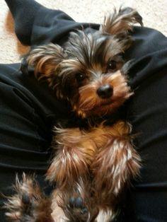 Yorkie | Best Little Dogs | Cute | Love | Spunky | Loyal | Yorkshire Terrier