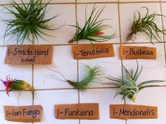 Types Of Air Plants – Blumuh Garden Types Of Air Plants, Air Plants Care, Plant Care, Planting Succulents, Garden Plants, Indoor Plants, House Plants, Indoor Herbs, Moss Garden