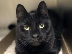 HARRY - A1032576 - - Brooklyn  ***TO BE DESTROYED 05/18/15*** PERFECTLY HEALTHY HOUSE PANTHER HARRY WAS DUMPED WHEN HIS OWNER DIED AND NOW THE ACC WILL END THIS BOY'S LIFE ONLY BECAUSE HE IS AFRAID!! Harry is a gorgeous house panther whose owner died and when he got to the shelter he was fine. A staff member writes: Harry is a little bit nervous. You'll find him in the back of his kennel trying to not be seen, which is easy because if he hides in a shadow all yo
