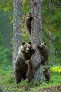 Family of bears, just hangin' out. Chilling like bears do..