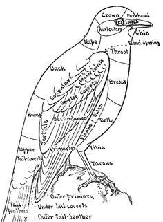 Bird Anatomy 996x1440 Pixels