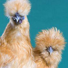 Buff Silkie Bantam from My Pet Chicken