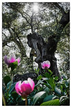 Wild peonies at the feet of a cork tree In Spain.