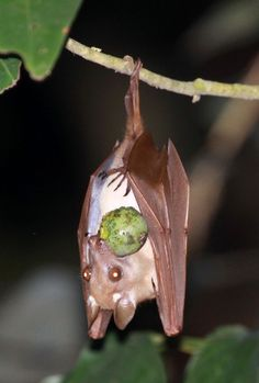 Wahlberg's Epauletted Fruit Bat (Epomophorus wahlbergi)
