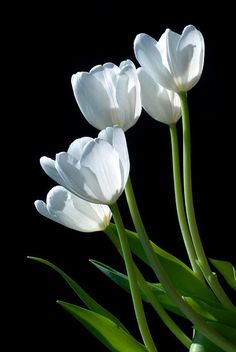 """White Tulip - """"a favorite to display in a simple vase.  I can't think of a room they wouldn't look good in."""" 
