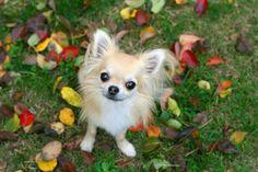 チワワ 笑顔 犬