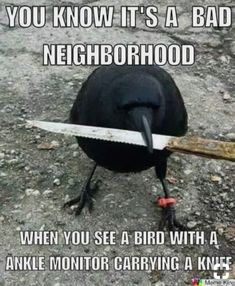A ankle monitor? Animal Funnies, Animal Jokes, Animal Antics, Funny Animal Pictures, Funny Animals, Blackbird Singing, Quoth The Raven, Jackdaw, Crows Ravens