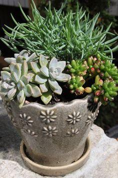 Echeveria, senecio and sedum in a cute pot!