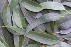 Gum leaves form a full-frame natural background. The subtle grey green tones of the Australian bush. by Robyn Mackenzie, via ShutterStock Colour Pallette, Color Palate, Colour Schemes, Color Combos, Color Patterns, Color Concept, L Eucalyptus, Eucalyptus Species, Natural Background