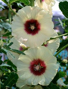 "Hollyhock Alcea ""Halo Cream"" These PERENNIAL Hollyhocks create a tasty back-of-the-bed focal point with their extra-tall (to 7' by 2' wide)"