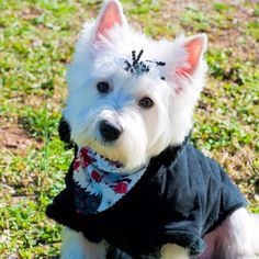 My west highland terrier, Shelby :)