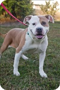 Portsmouth, VA - American Pit Bull Terrier Mix. Meet Charry a Dog for Adoption.soooo sweet