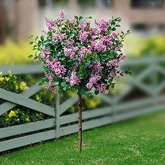 Korean Dwarf Lilac Tree, 5-6 Feet high, 5-6 feet wide, winter hardy, blooms late spring, full to part sun