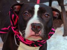 TO BE DESTROYED WED 2/5/14- Manhattan Center  COCOA - A0990316. FEMALE, BLACK / WHITE, PIT BULL MIX, 9 mos OWNER SUR - PETS CONFL. ~BABY ALERT!!!! She does not mind other dogs passing by although she seems wary.  She is all kisses and in seventh heaven. Sudden noises or people popping in our space scare her. It is so tough for a little one who has known a home and a family. Puppies need training, time and love to help them grow into their potential!  Do you have what it takes?