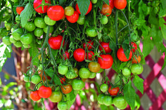 Tomato 'Tumbling Tom Red' seeds from Thompson & Morgan - experts in the garden since 1855 Types Of Tomatoes, Varieties Of Tomatoes, Growing Tomatoes In Containers, Grow Tomatoes, Black Cherry Tomato, Red Tomato, Patio Tomatoes, Cape Gooseberry, Planting Vegetables