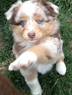 My new mini Aussie puppy Peaches! I pick her up this week: Red Merle Mini Aussie, Adorable Aussie, Aussie Babies, Aussie Peaches, Aussie Dogs, Mini Aussie Puppies, Miniature Australian Shepherd