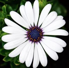 African Daisy. Never underestimate the power of the flower.