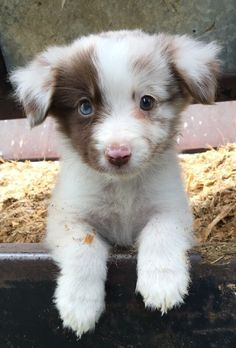 Awwww. Little two different color eyes puppy! ❤️