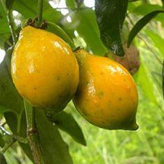 BACURIPARI Nome científico: Rheedia Brasiliensis. Chupa-se do mesmo modo que uma jabuticaba, isto é, vertendo-se fora a casca e o caroço. A planta é uma arvoreta de 1,5-2,0 m, que inicia a produção com menos de 1,0 m de altura. Usos: O fruto é consumido ao natural, ou sob a forma de sucos e sorvetes. A planta possui ótimo valor ornamental, principalmente quando em frutificação (fica carregada de frutos redondos e amarelos contrastando com a folhagem verde-escura).Origem: Amazônia e Mata...