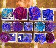 Rara Belleza Flor 200 unids bonsai Suculentas Semillas Fáciles de Cultivar En Macetas Semillas para el Hogar y Jardín Envío Libre