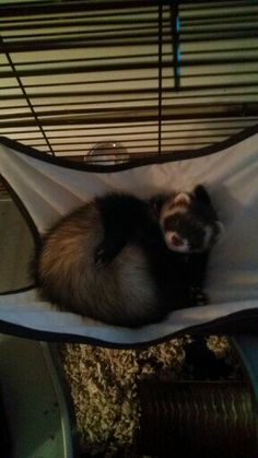 My Ferret Bandit In His Hammock