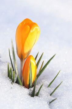☀Crocus In Snow, by Sven Hastedt