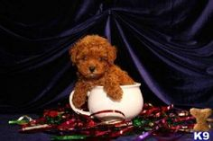 red maltipoo puppies for sale