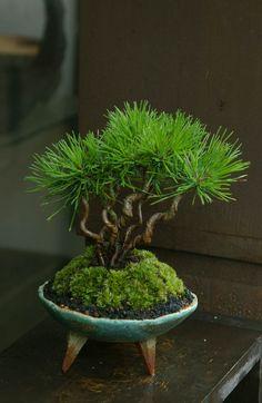 にこブログ 新しい苔玉・盆栽・苔盆栽アップしました!