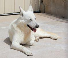 berger blanc suisse dog photo   WOLF BERGER BLANC SUISSE 10 ANS DONT 6 DE REFUGE LDAS 72