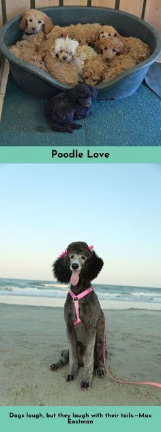 Read about Poodles #poodlelove  Click the link to read more...