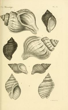 sea life - sea life photography - sea life underwater - sea life artwork - sea life watercolor sea l Seashell Tattoos, Ocean Tattoos, Éphémères Vintage, Vintage Prints, Nature Illustration, Antique Illustration, Shell Drawing, Gcse Art Sketchbook, Painted Shells