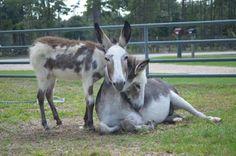 Stephanie and Lori, permanent residents of TMR Rescue Inc.  Courtesy:   Marjorie Farabee, Wild Burro Protection League, Texas (USA).
