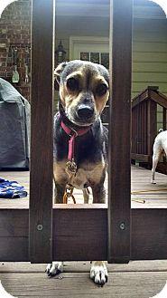 Apex, NC - Chihuahua/Terrier (Unknown Type, Small) Mix. Meet Sha Sha, a dog for adoption. http://www.adoptapet.com/pet/13495656-apex-north-carolina-chihuahua-mix