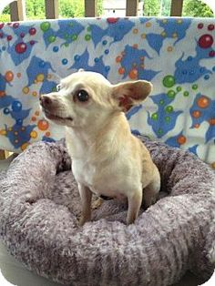 Spanaway, WA - Chihuahua Mix. Meet Gizzy a Dog for Adoption.