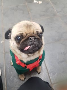 My girlfriend and I's favourite client Winston was back today! http://ift.tt/2D0STQQ #Ilovepugs