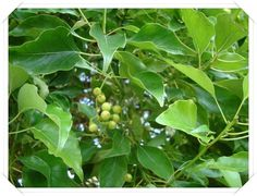 (Cinnamomum camphora)